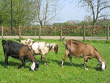 anglo-nubian goats