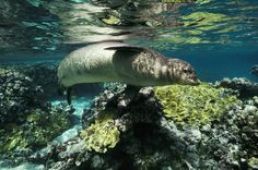 Monk Seal A Hawaiian monk seal swims in the French Frigate Shoals in the northwestern Hawaii. Monk seals have become critically endangered because of increased ocean pollution, coastal habitat loss, and fishing gear that entangles them.  PHOTOGRAPH BY BILL CURTSINGER, NATIONAL GEOGRAPHIC CREATIVE