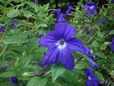 """American Bush Violet (Browallia speciosa), Annual free-flowering bedding plant of the Nightshade family (Solanaceae, native to tropical America.""""  Read more: http://davesgarden.com/guides/pf/showimage/973/#ixzz2dxbxDbQX"""
