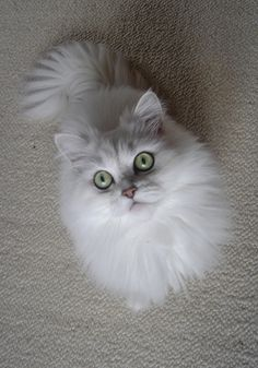 23 amazing pictures of angora cats - Viral Kittens Cute Cats And Kittens, I Love Cats, Crazy Cats, Cool Cats, Kittens Cutest, Ragdoll Kittens, Tabby Cats, Funny Kittens, Bengal Cats