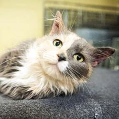 Adoptez /Adopt 2900 - Shogun (Femelle, née approx. fin mars 2009 / Female, born approx. end of March 2009) #adoptable #cat #chat #montreal #verdunluv http://www.refugechatsverdun.com/chats_a_adopter.html#2900