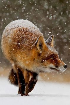 Hello, I am a fox. I am a wild animal. As cute and friendly as I seem, I DON'T…