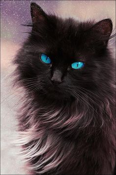Beautiful blue eyed cat...although I'm sure those eyes are edited!