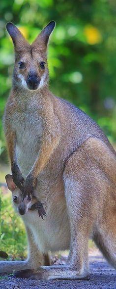 Kangaroo & Joey.. I want to draw these cuties