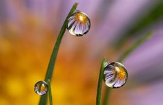 Michaelmas daisy dewdrop refraction #4 by Lord V