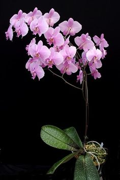 Phal Schilleriana Var Purpurea | Phal. schilleriana var. purpurea (4N) presented by Orchids Limited