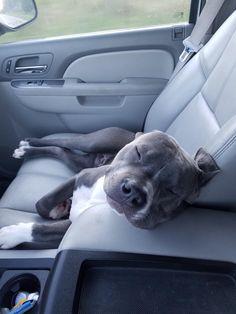 Cute Pitbull Puppies, Cute Pitbulls, Cute Little Puppies, Cute Dogs And Puppies, Cute Little Animals, Cute Funny Animals, Baby Dogs, Doggies, Blueline Pitbull