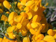 ΚΥΤΙΣΟΣ. Θάμνος που φτάνει σε ύψος τα 2 m με ανθοφορία κίτρινη και ενυτπωσιακή τον μήνα Απρίλιο. Φυτεύεται μεμονωμένο αλλά και ομαδικά.  Καλλωπιστικοί θάμνοι - Φυταγορά Σερρών Planting Flowers, Plants, Foliage, Language Of Flowers, Fragrant, Grass, Shrubs, Modern Garden, Flowers