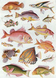 Impresión antigua, peces cuadro 1920 hermosa pared arte vintage color litografía ilustración Mar océano criaturas bookplate