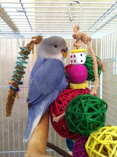 Sally the bitty Lovebird with her Molly Balls and Millet Holder. Submitted by Katrina Healy Parakeets, Parrots, Bird Toys, Love Birds, Sally, Feather, Wings, Pets, Board