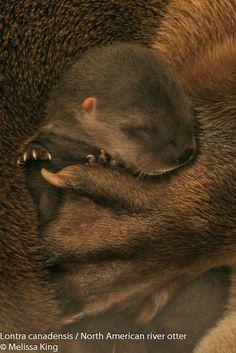 Newborn otter pup