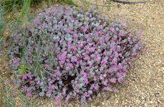 Plant photo of: Kalanchoe pumila How To Level Ground, Succulents Garden, Light Shades, Shrubs, Flowers, Plants, Google, Shrub, Plant