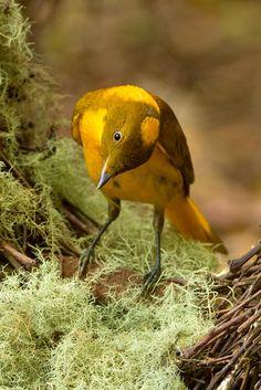 Golden Bowerbird (Prionodura newtoniana) @ sohnjoo's photography