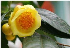 Camellia Oil for Fabulous Hair Camellia Oil, Hair Scalp, Essential Fatty Acids, Seed Oil, Healthy Hair, Herbalism, Seeds, Black And White, Plants