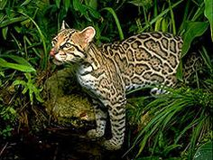 Check out that ocelot's pink nose!
