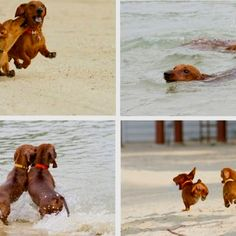 Doxie Puppies on the beach!