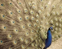 Peacock art Fine art nature photography Bird by PenumbraImages, $25.00