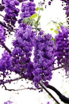 Wisteria - Ashikaga Flower Park, Tochigi, Japan.