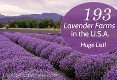 List of 193 Lavender farms in the US. Fields of lavender growing and being harvested for crafts, food items and natural body care