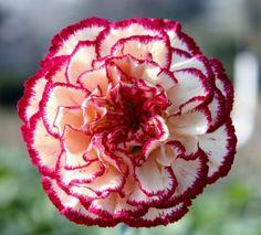 La Flor Nacional De Espana | Clavel: Flor Nacional de España | Espacio de Arpon Files