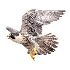 Audubon Society of Rhode Island to host Party for the Peregrines - Reporter Today Falcon Tattoo, Audubon Society, Peregrine Falcon, Bird Wings, Bird Pictures, Watercolor Animals, Colorful Birds, Birds Of Prey, Fauna