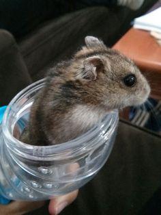 My cute hamster #hamster #cute