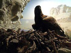 Cute Photos of Baby Golden Eagles < Birdorable Blog Cute Photos, Baby Photos, Eagle Nest, Golden Eagle, Eagles, Bald Eagle, Baby Animals, Birds, Blog