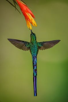 Hummingbird plumage and plant idea - Male Violet-tailed Sylph by Mike Bons Pretty Birds, Beautiful Birds, Images Colibri, Hummingbird Moth, Hummingbird Pictures, World Birds, Owl Bird, Little Birds, Science And Nature
