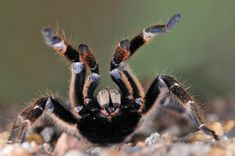 Image of Baboon spider taken at Olifants Camp in the Kruger National Park Macro Photography, Wildlife Photography, Kruger National Park, National Parks, Worm Images, Scorpion Image, Great Photos, Cool Pictures, Huntsman Spider