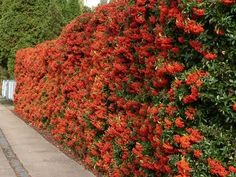 Evergreen hedging plants and shrubs are a popular way to create a living garden fence by using privacy plants. Hedging Plants, Buxus, Garden Shrubs, Garden Plants, Patio Plants, Shade Garden, Herb Garden, Vegetable Garden, Shrubs For Privacy