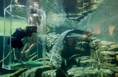 "SWIM WITH CROCODILES IN AUSTRALIA: Get no holds barred with one of the deadliest animals on #Earth at the Crocosaurus Cove in Darwin, nicknamed the ""Pen of Death."" Drop into a walled in area that houses almost 200 crocodiles, with only a Plexiglas pen in the middle of you and them."