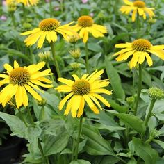 Echinacea 'Sunseekers Yellow' 2L NYSolhattHÖJD: 40 cmBLOMNING: Juli-Sept