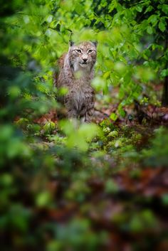 "Lynx. See Over 2500 more animal pictures on my Facebook ""Animals Are Awesome"" page. animals wildlife pictures nature fish birds photography cute beautiful"