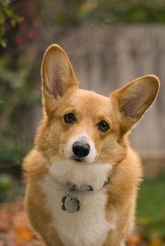 Corgi--my son Cooper has a dog like this--Max!  So cute!