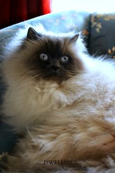 DWELLINGS-The Heart of Your Home~Love Ragdoll cats!