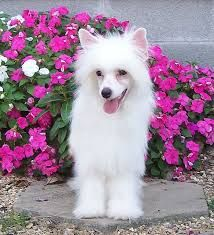 chinese crested powder puff - Google Search