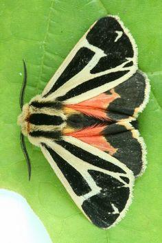 Nais Tiger Moth (Apantesis nais)