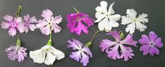 Primula sieboldii  Must see about getting this plant