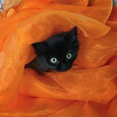 Black kitty in orange tulle