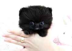 Teacup Pomeranian. So tiny. So cute! If I were ever to get a dog...