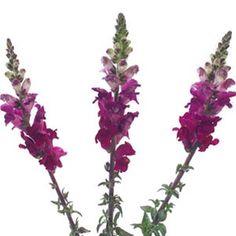 FiftyFlowers.com - Snapdragon Purple Lavender Flower 100 stems @$139