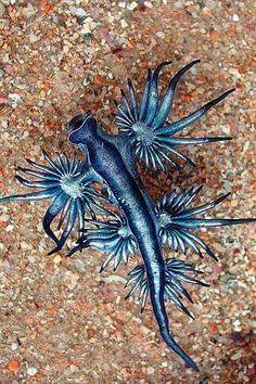 Blue Dragon sea slug