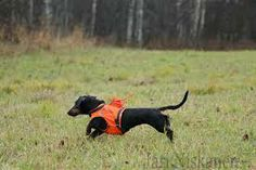 Short haired datchshund