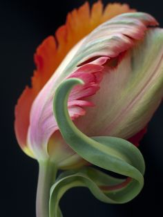 Tulip 'Orange Favourite' - parrot tulip