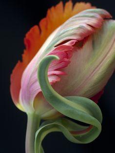 Tulip 'Orange Favourite' - parrot tulip