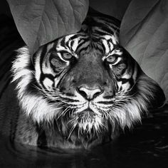 Find images and videos about black and white, animal and tiger on We Heart It - the app to get lost in what you love. Beautiful Cats, Animals Beautiful, Majestic Animals, Gorgeous Eyes, Pretty Eyes, Beautiful Images, Lion Tigre, Tiger Love, Tiger Tiger