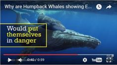 Whale Facts, Reykjavik Iceland, Orcas, Humpback Whale, Killer Whales, Seals, Things To Think About, Feelings, Watch