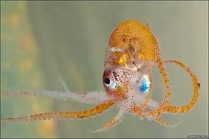 In 2009, scientists sailed from a seamount called Melville Bank in the southwest Indian Ocean Ridge north toward Madagascar where they caught at 500m the first octopus of the trip, an unidentified species