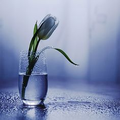 A single flower can make everything feel peaceful and ok Blue Tulips, Blue Flowers, Single Flowers, Flowers Vase, Beautiful Flowers, Beautiful Pictures, Cider House, All Things Purple, Flower Wallpaper