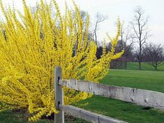 Forsythia 'Northern Sun' 8-10' tall, a sure sign of spring